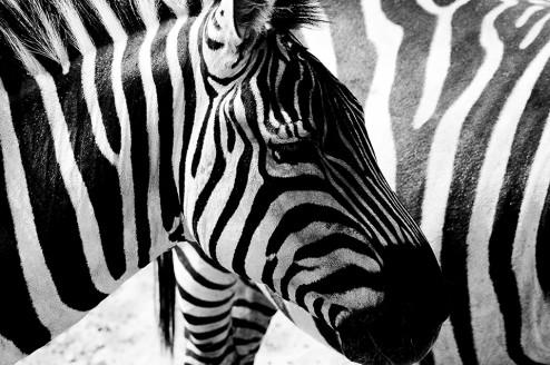 Zebra in Zwart Wit